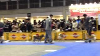 CN:Ryoku 胡麻柴の緑さん 2012.12.23 東京インターナショナル•ドッグシ...