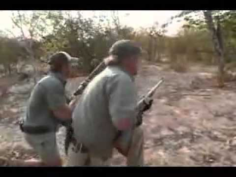 Lion Attacks Safari Hunter