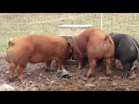 Heat Detection And Inseminating The Homestead Gilt