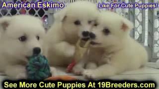 American Eskimo, Puppies For Sale, In, Richmond, Virginia, West, Va, Newport, County, Alexandria, 19