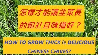 """韭菜愛""""蓋被子(肥料)""""和""""搬家(移栽)"""", 不倒騰不旺-- HOW TO GROW THICK u0026 DELICIOUS CHINESE CHIVES"""