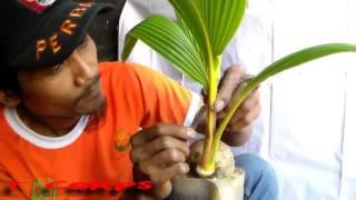 cara proses bonsai kelapa