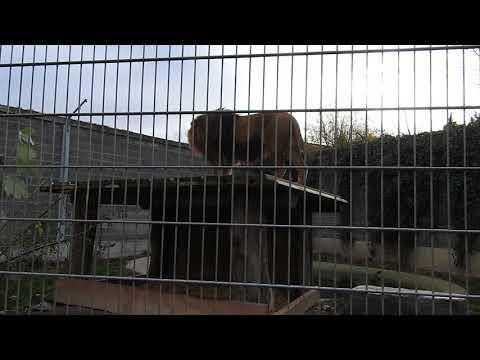 吼えるバーバリライオン Barbary Lion 2015 1115