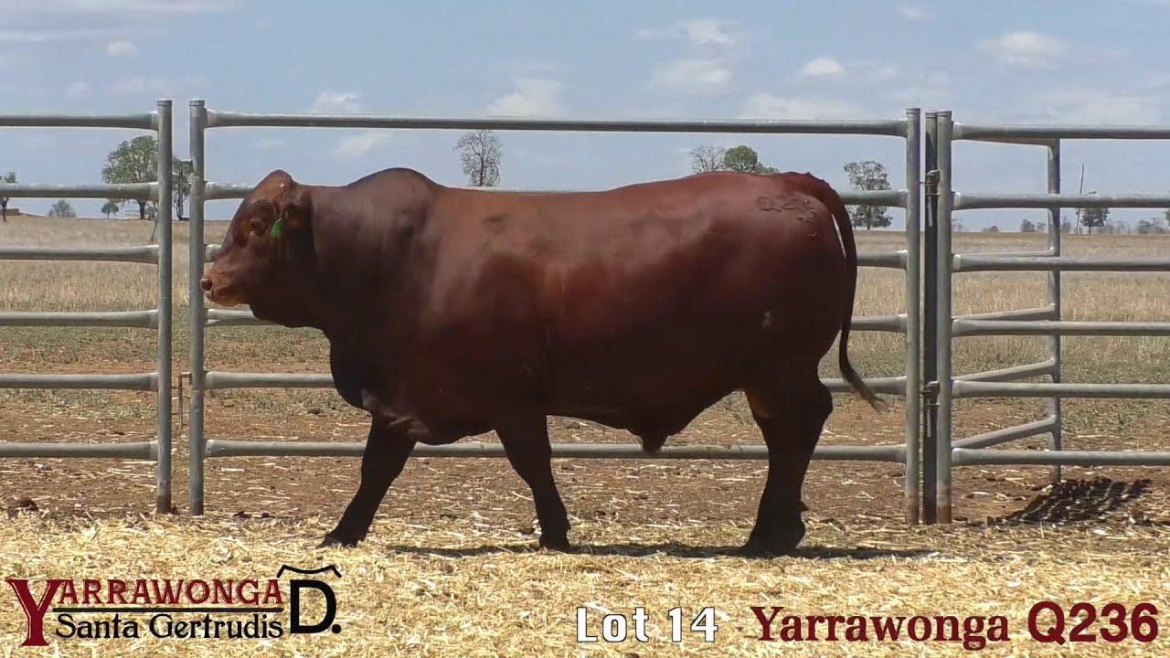 Download Clermont Santa Gertrudis Bull Sale 2020 - Lot 14 Yarrawonga Q236