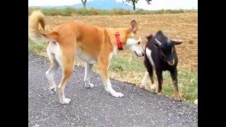 Gora a mini koza. :-)
