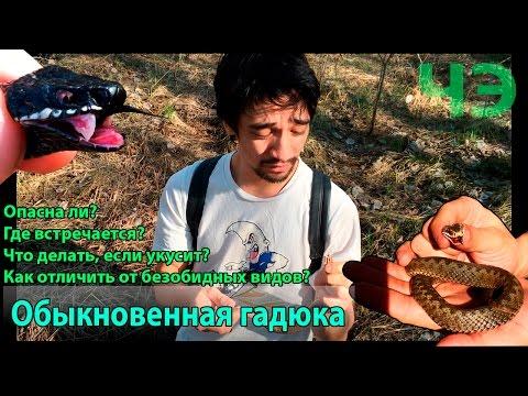 Гадюка обыкновенная. Как избежать укуса гадюки? О первой помощи в случае укуса змеи