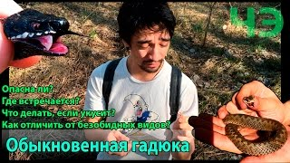 видео Гадюка обыкновенная