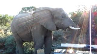 African elephant in the bush // Африканский слон в чаще