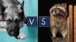 #GermanshepherdVsRaccoon Complete Episode Raccoon vs German Shepherd Dog