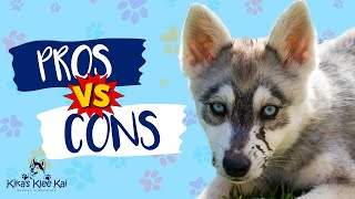 Alaskan Klee Kai  Pros and Cons   The Good, The Bad & Hairy