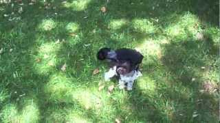 Toy Schnauzer Puppies Outside At 5 Weeks Old