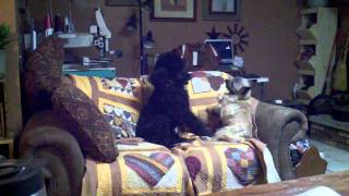 Dogfight!!! Mattie The Cairn Terrier And Darcy The Standard Poodle Adorable Dogs