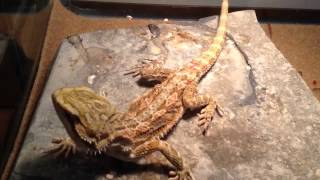 My bearded dragon wont eat