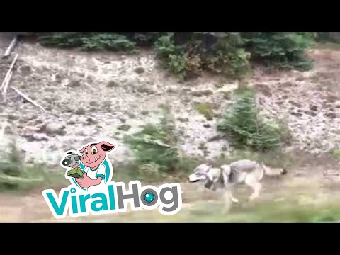Grey Wolf Chases Family in Car