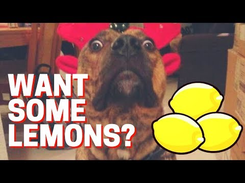 Very Funny Videos of Dogs Reacting to Lemons Compilation (NE