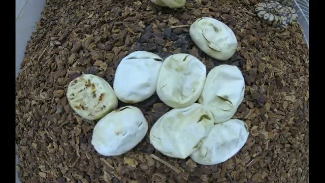 Ball Python Eggs Hatching Time Lapse Youtube