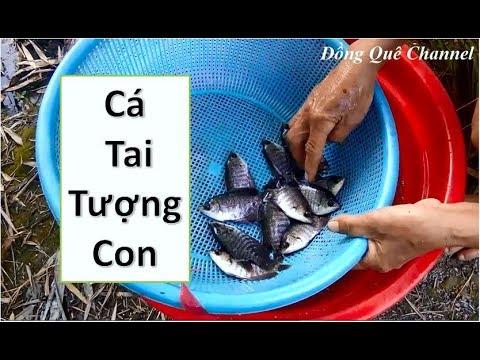 Thả Nuôi Cá Tai Tượng Con Xuống Ao   ➤ Đồng Quê Channel