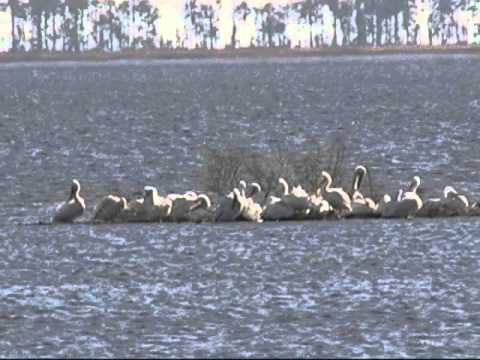 White Pelicans at Blackwater NWR - Winter 2013