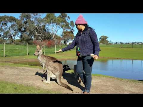 20160823 Philip Island @Melbourne, Victoria, Wildlife Park and Australian Kangaroo 21