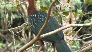 Aves do Brasil - Jacu, Jacutinga e Jacucaca. Craciformes.
