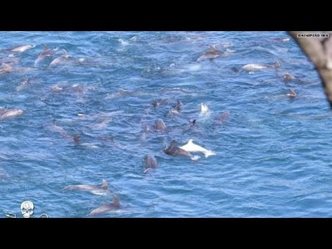 Hundreds of dolphins face slaughter