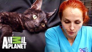 podr-la-doctora-petra-salvar-la-pata-rota-de-esta-gatita-dr-jeff-veterinario-animal-planet