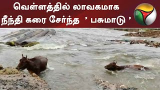 வெள்ளத்தில் லாவகமாக நீந்தி கரை சேர்ந்த  ' பசுமாடு ' | Chennai Flood | COW Viral Video