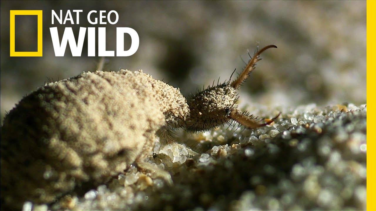 An Antlions Spiraling Death Trap | Wildest Wonders
