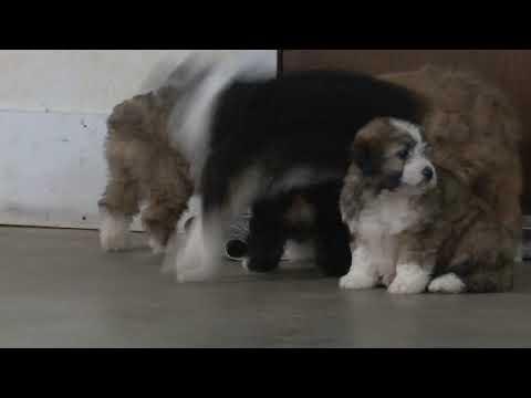 Marcus Raber's Mini Aussidoodle Puppies