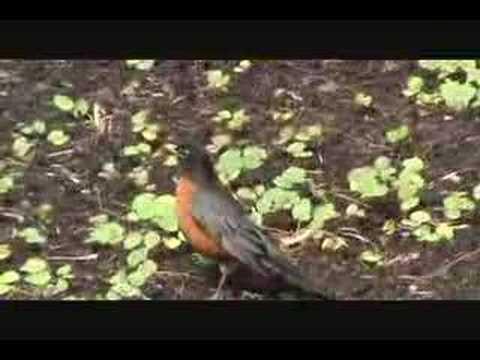 Oiseaux de Montréal - Birds of Montreal