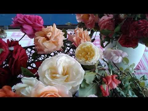 вьющиеся розы   обзор  сортов питомник Полины Козловой