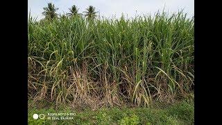 கரும்பு சோவையை கால்நடை தீவனமாக பயன்படுத்துவது எப்படி / How to use Sugarcane Tops as Cattle fodder