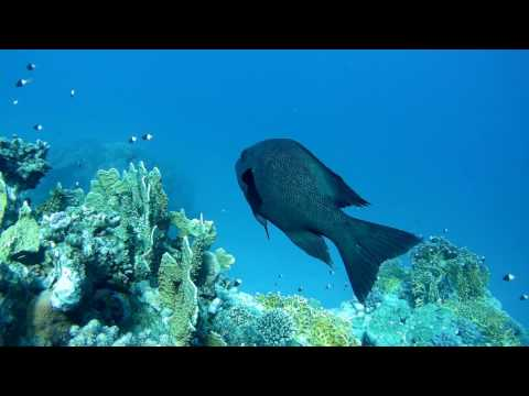 Red Sea Slow-TV - cleaning station on outer reef