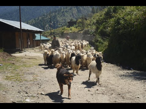 Uttarakhand Legends Chasing the migratory shepherds of Uttarakhand x264