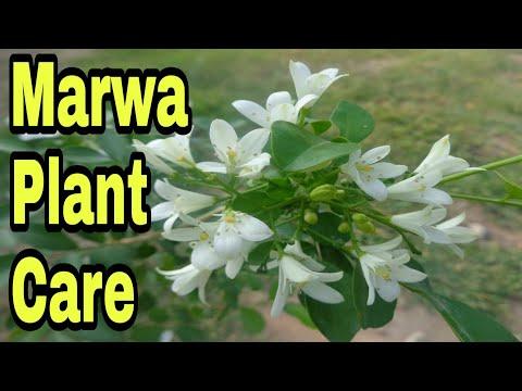 how-to-grow-marwa-plant|how-to-grow-orange-jasmine|how-to-grow-murraya|urdu/hindi-/english.