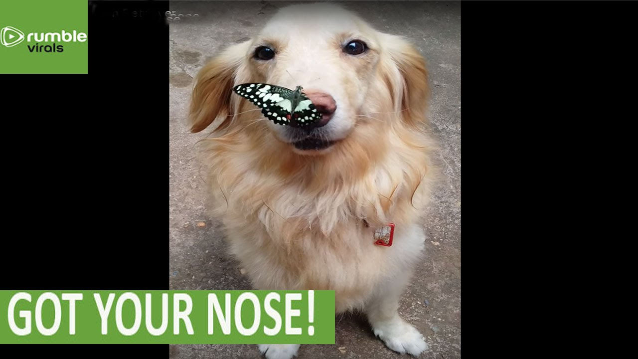 Butterfly Lands Perfectly On Golden Retriever S Nose Youtube