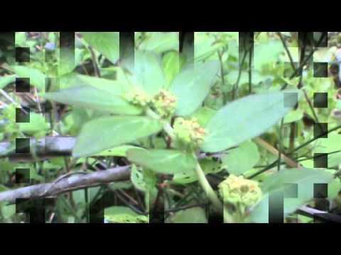 Nilappaala Euphorbia Hirta നിലപ്പാല