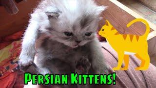 Persian Kittens: 3 weeks old! Cute  Chubby Kittens!😺