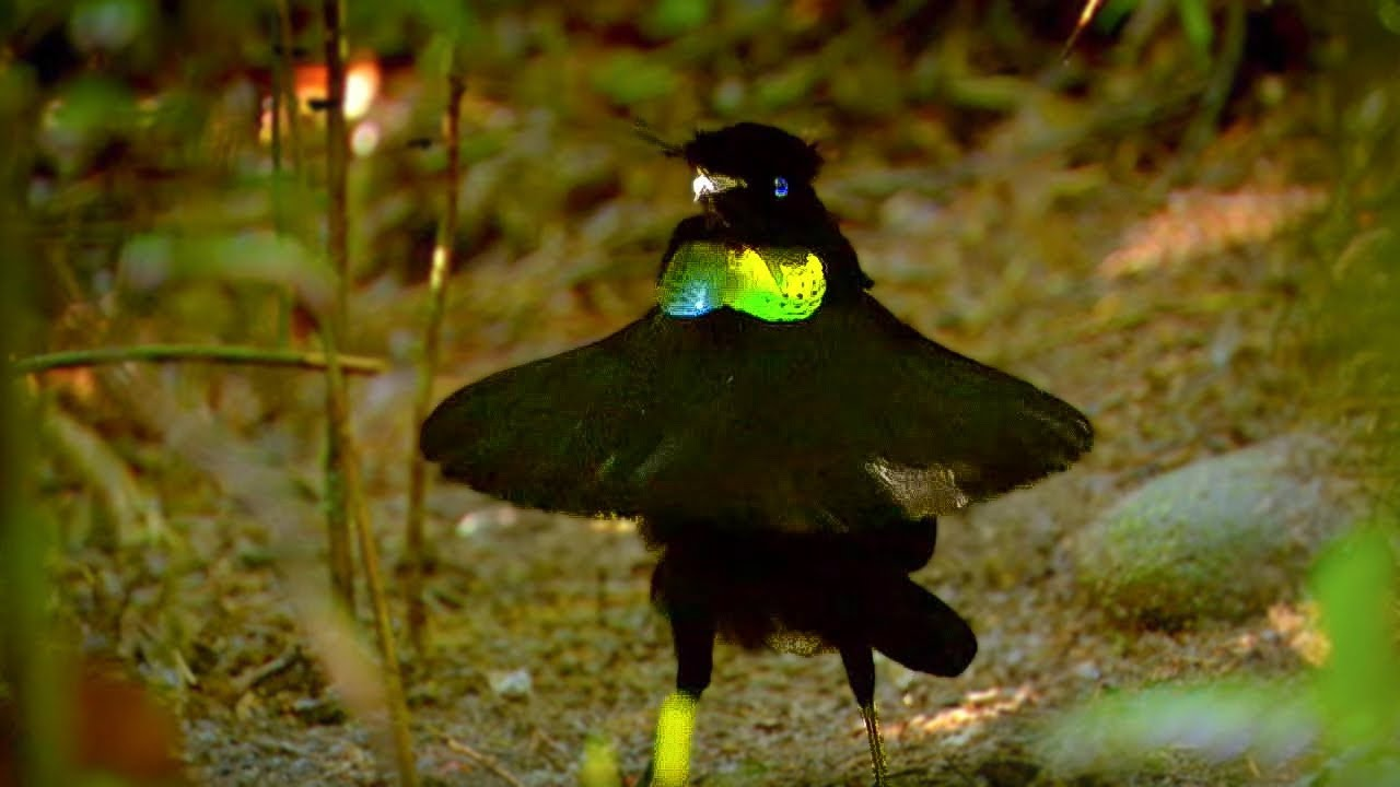 Bird Of Paradise Appearances Count Animal Attraction Bbc Earth