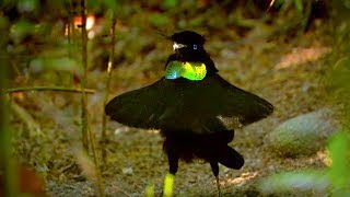 Bird Of Paradise: Appearances COUNT! | Animal Attraction | BBC Earth