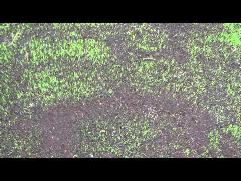 Lawn Renovation 100% Kentucky Blue Grass