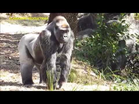 One Gorrilla Flirting And The Other One Posing Proud !