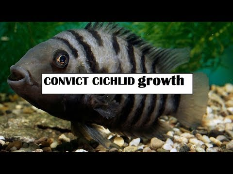 Central American White Convict Cichlid