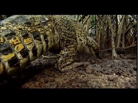 Crocodiles - Crocodiles in Cuba and Venezuela | Explora Films EN | Explora FIlms EN