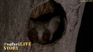 Creatures of the African night thumbnail