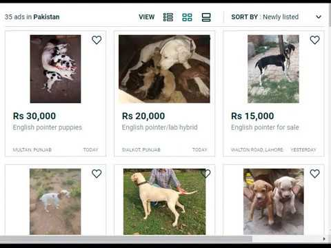 Hunting Dogs Price In Pakistan Youtube