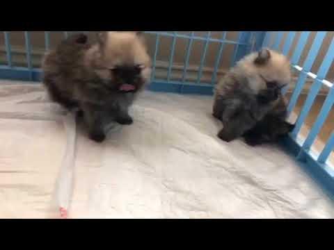 Teddy bear Pomeranian puppies for sale in Houston Texas