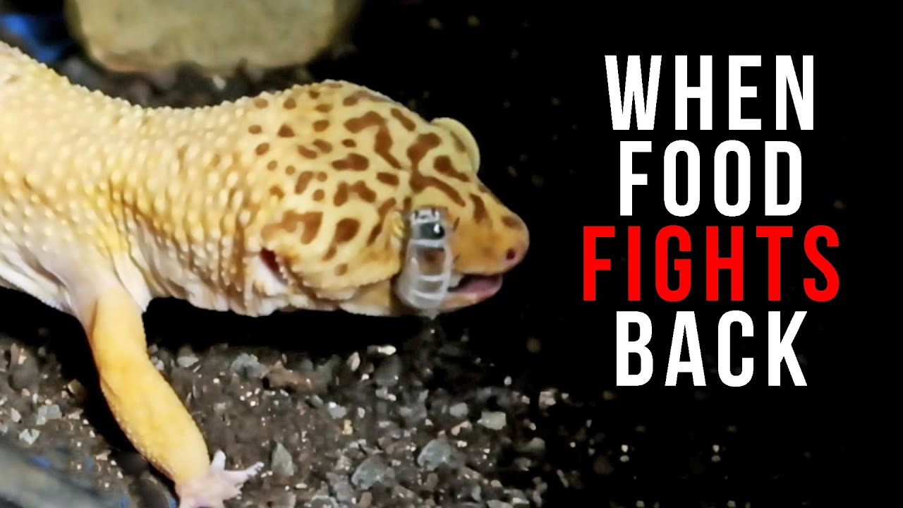 When Feeder Insects Fight Back Feeding Leopard Geckos Youtube