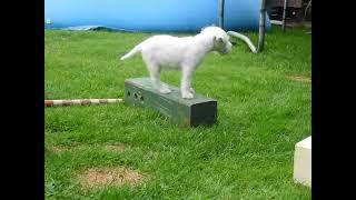 Parson Russell Terrier Welpen Vom Niggeland Mit 7 Wochen
