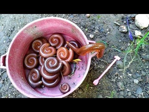 Panen Hewan KAKI SERIBU atau Luwing, Giant millipede